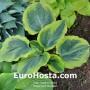 Hosta Dark Shadows - Eurohosta