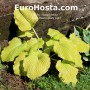 Hosta Dawn's Early Light - Eurohosta