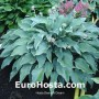 Hosta 'Deane's Dream' - Eurohosta