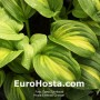 Hosta-Emerald-Charger-Eurohosta
