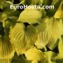 Hosta Fog Light - Eurohosta