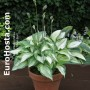 Hosta Ghost Spirit - Eurohosta