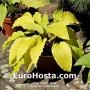 Hosta Gilt by Association - Eurohosta