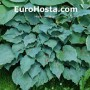 Hosta Ice Prancer - Eurohosta