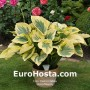 Hosta Majesty - Eurohosta