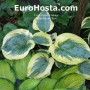 Hosta Mount Tom - Eurohosta