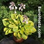 Hosta Radiant Edger - Eurohosta