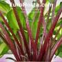 Hosta Raspberry Sundae - Eurohosta