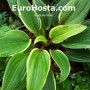 Hosta-Red-Alert-Eurohosta