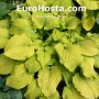 Hosta Sea Gulf Stream - Eurohosta