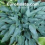 Hosta Sherborne Swift - Eurohosta