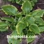 Hosta Sugar and Spice - Eurohosta
