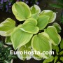 Hosta Sweet Innocence - Eurohosta