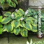 Hosta The King - Eurohosta