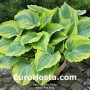 Hosta The King