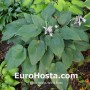 Hosta 'Valley's Vanilla Sticks' - Eurohosta