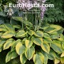 Hosta Alex Summer - Eurohosta