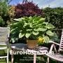 Hosta Alex Summer - Eurohosta