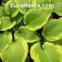 Hosta American Choo Choo - Eurohosta