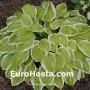 Hosta American Dream - Eurohosta