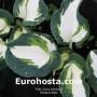 Hosta Andrew - Eurohosta