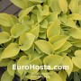 Hosta Apple Candy