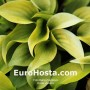 Hosta Appletini - Eurohosta