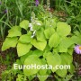 Hosta August Moon - Eurohosta