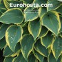 Hosta Autumn Frost - Eurohosta