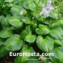 Hosta Avocado - Eurohosta