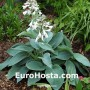 Hosta Big Mama - Eurohosta