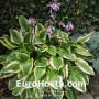 Hosta Bill Brincka