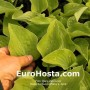 Hosta Birchwood Parky's Gold - Eurohsta