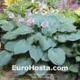 Hosta Blue Angel - Eurohosta