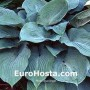 Hosta Blue Angel - Eurohosta