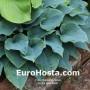 Hosta Blue Belle - Eurohosta