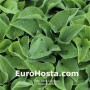 Hosta Blue Boy - Eurohosta