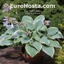 Hosta Blue Flame - Eurohosta