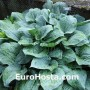 Hosta Blue Hawaii - Eurohosta
