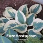 Hosta Blue Ivory