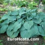 Hosta Blue Mammoth- Eurohosta