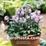 Hosta Bonsai - Eurohosta