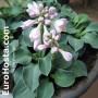 Hosta Blue Mouse Ears - Eurohosta