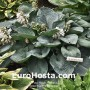 Hosta Blue Plate Special - Eurohosta