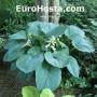 Hosta Blue Umbrellas - Eurohosta