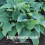 Hosta Blue Wedgwood - Eurohosta