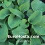 Hosta Bressingham Blue - Eurohosta