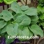 Hosta Bressingham Blue - Eurohosta