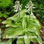 Hosta Bright Lights - Erohosta