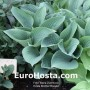 Hosta Brother Ronald - Eurohosta